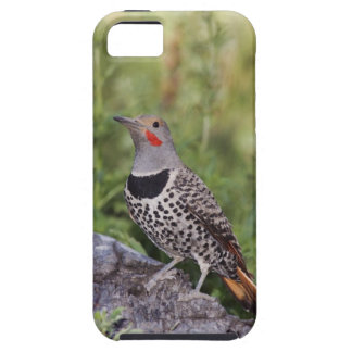 Northern Flicker, Colaptes auratus, Red-shafted iPhone 5 Covers