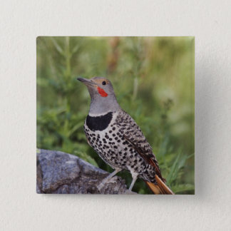 Northern Flicker, Colaptes auratus, Red-shafted Pinback Button