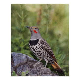 Northern Flicker, Colaptes auratus, Red-shafted Poster