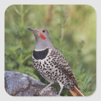 Northern Flicker, Colaptes auratus, Red-shafted Square Sticker