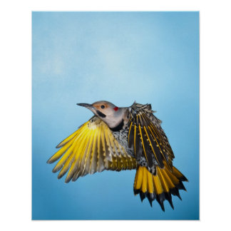 Northern Flicker Flying 3 Poster