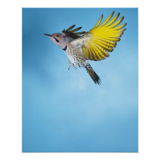 Northern Flicker Flying 4 Poster