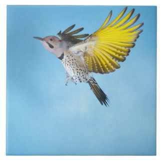 Northern Flicker Flying 4 Tile