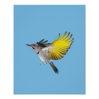 Northern Flicker Flying Poster