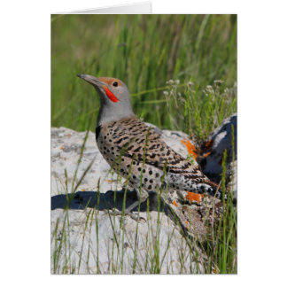 Northern Flicker Greeting Cards