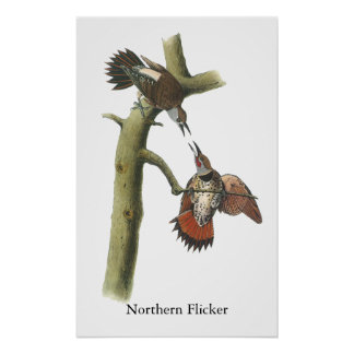 Northern Flicker, John Audubon Poster