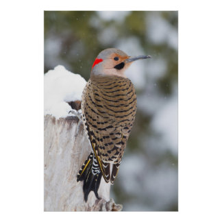 Northern Flicker male in winter Poster
