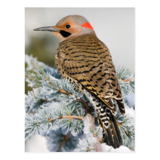 Northern Flicker male Postcard