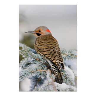 Northern Flicker male Poster