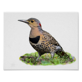 Northern Flicker on the Ground Poster