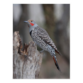Northern Flicker Postcard