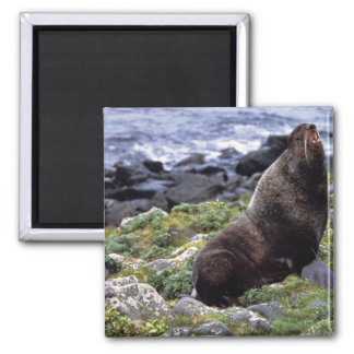 Northern fur seal 2 inch square magnet