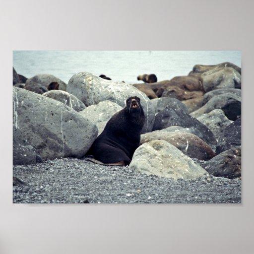 Northern fur seal Bogoslof Island Print