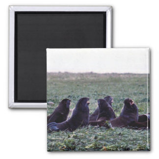 Northern fur seals 2 inch square magnet