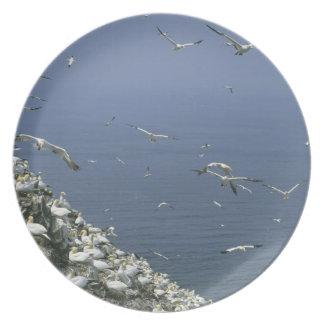 Northern Gannet, (Sula bassanus), huge colony, Melamine Plate