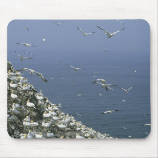 Northern Gannet, (Sula bassanus), huge colony, Mouse Pad