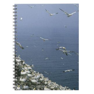 Northern Gannet, (Sula bassanus), huge colony, Notebook