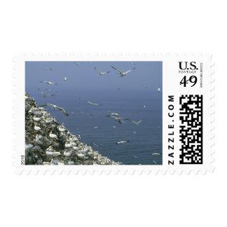 Northern Gannet, (Sula bassanus), huge colony, Stamp