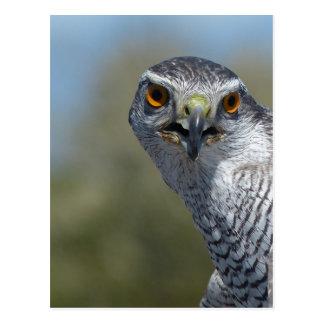 Northern Gohawk Close Up Postcard