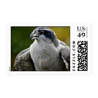 Northern Goshawk Postage Stamps