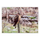 Northern Harrier Hawk on Fence Greeting Cards