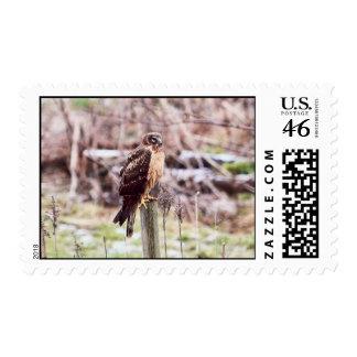 Northern Harrier Hawk on Fence Stamp