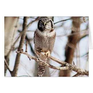 Northern Hawk Owl 3 Card