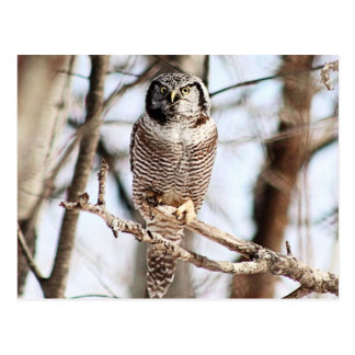 Northern Hawk Owl 3 Postcard