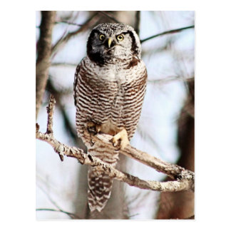 Northern Hawk Owl 3 Postcard