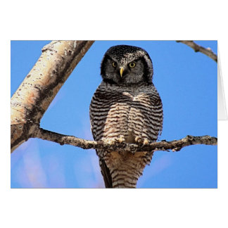 Northern Hawk Owl 4 Card