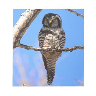 Northern Hawk Owl 4 Scratch Pads