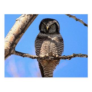 Northern Hawk Owl 4 Postcard