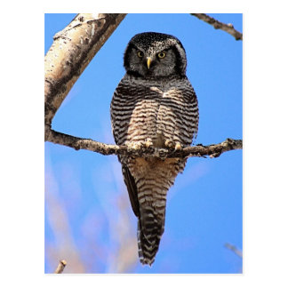 Northern Hawk Owl 4 Postcard