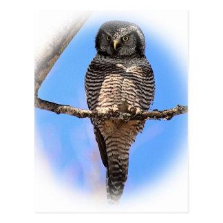 Northern Hawk Owl 4A Postcard