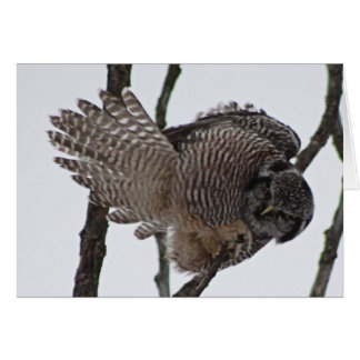Northern Hawk Owl 6 Card