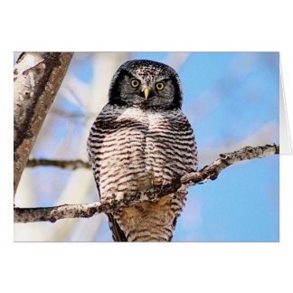 Northern Hawk Owl Card