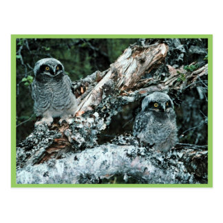 Northern Hawk Owl Chicks Postcard