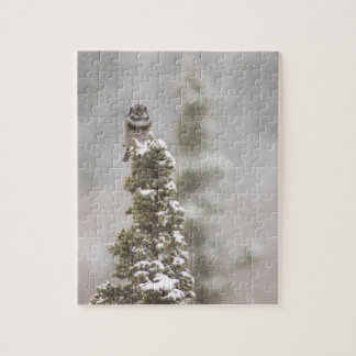 Northern Hawk Owl in Snow - Surnia ulula Jigsaw Puzzle