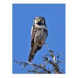 Northern Hawk Owl Postcard