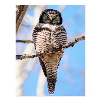 Northern Hawk Owl Postcard