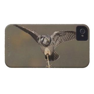 Northern hawk owl surveys boreal forest for prey blackberry bold cases