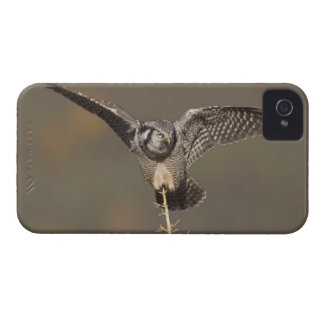 Northern hawk owl surveys boreal forest for prey Case-Mate iPhone 4 case