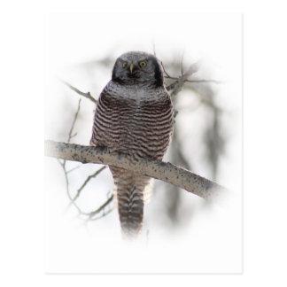 Northern Hawl Owl 7 Postcard