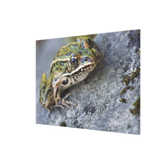 Northern Leopard frog, See-through Island, Canvas Print