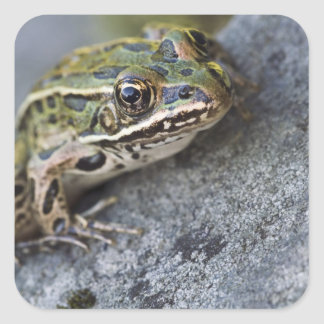 Northern Leopard frog, See-through Island, Square Sticker