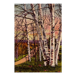 Northern Michigan Birch Trees in Spring Poster