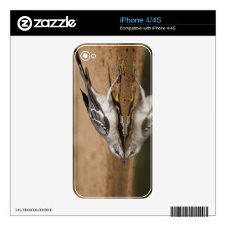 Northern Mockingbird drinking at south Texas pon Decals For The iPhone 4S