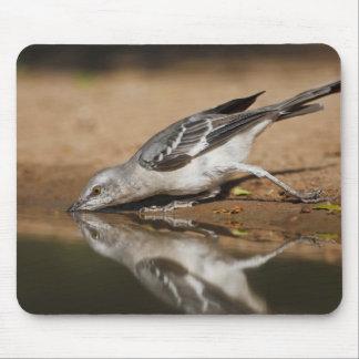 Northern Mockingbird drinking at south Texas pon Mouse Pad