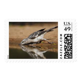 Northern Mockingbird drinking at south Texas pon Postage