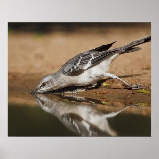 Northern Mockingbird drinking at south Texas pon Poster